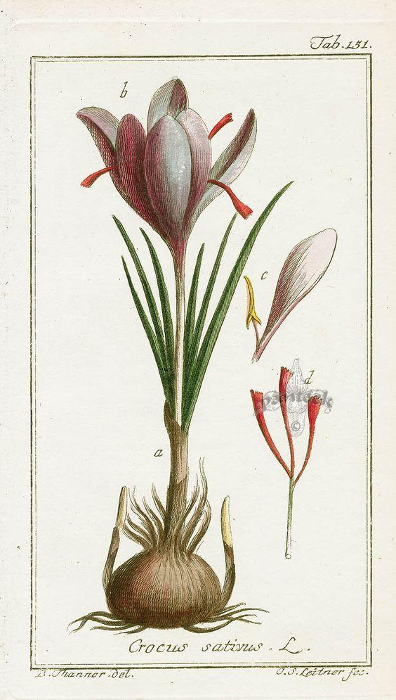 Saffron, Crocus sativus.