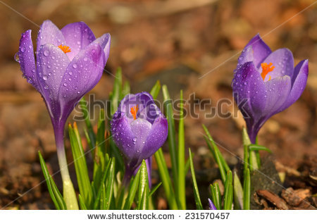 Saffron Crocus Stock Photos, Royalty.
