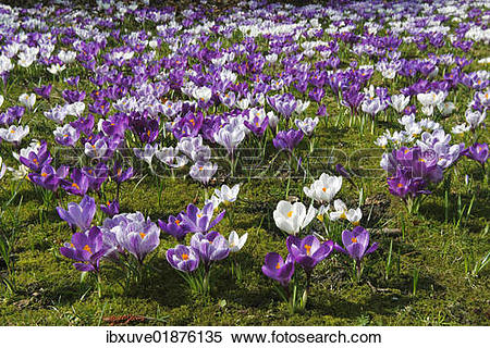 "Stock Image of ""Spring crocus, Giant Dutch crocus (Crocus vernus."