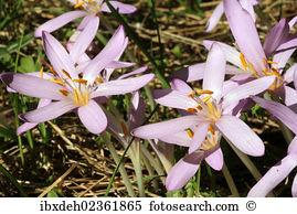 Saffron flower Images and Stock Photos. 3,252 saffron flower.