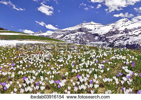 """Stock Photo of """"Flowering Crocus meadow near Les Diablerets with."""
