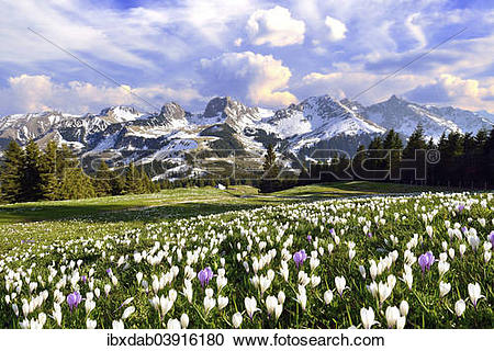 """Stock Photography of """"Flowering crocus meadow with storm clouds."""