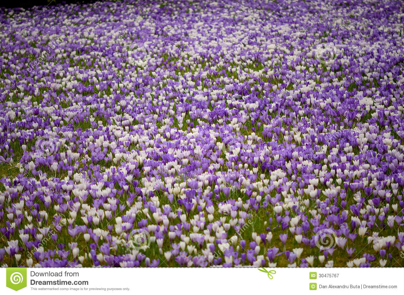 Crocus Meadow Royalty Free Stock Photography.