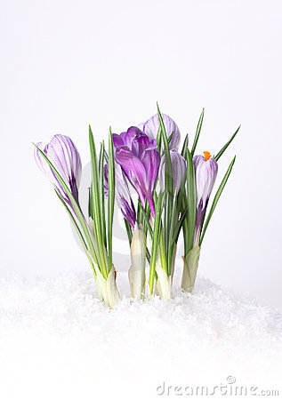 Crocus In The Snow (spring) Royalty Free Stock Photos.