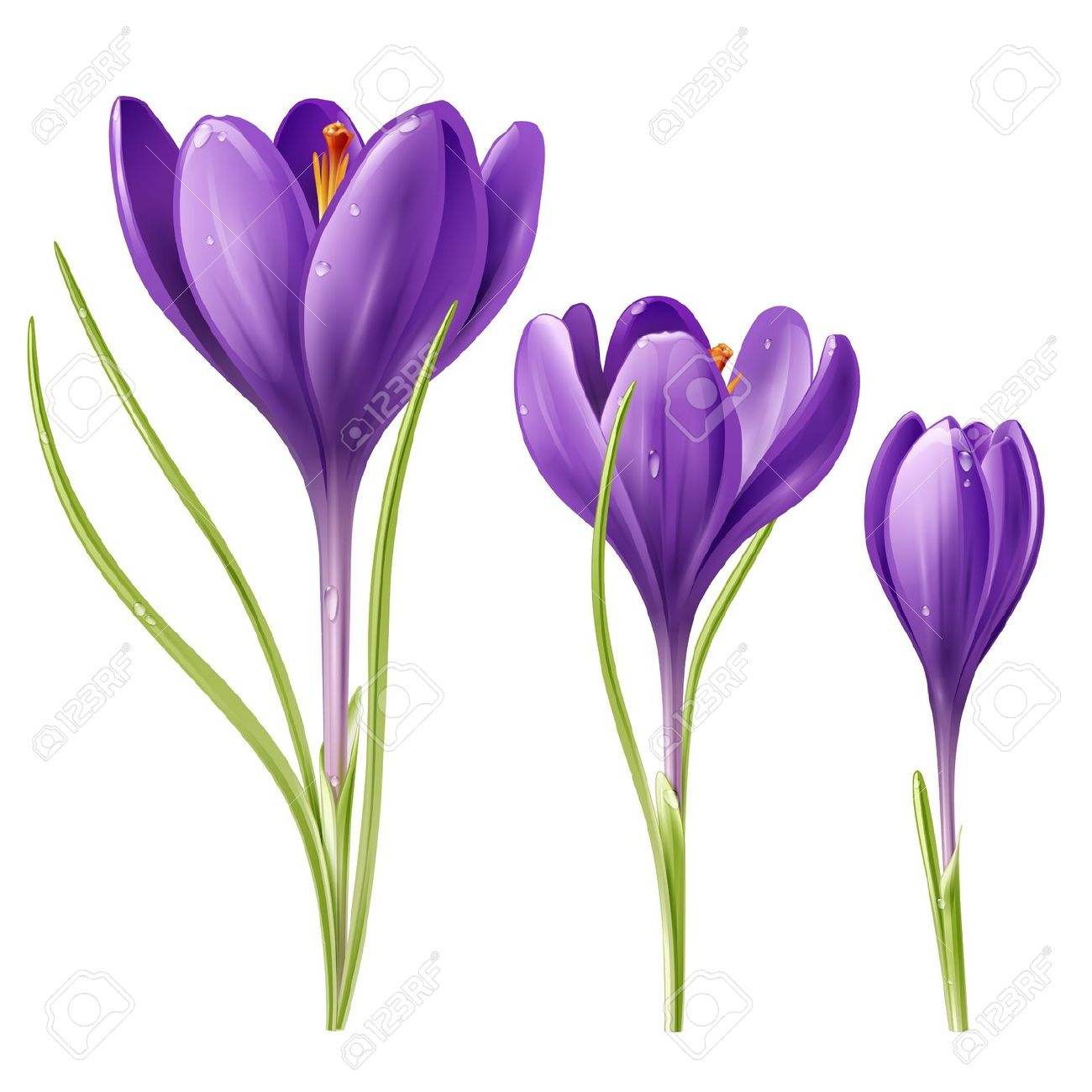 Vector Illustration Of Three Crocus Flowers Royalty Free Cliparts.