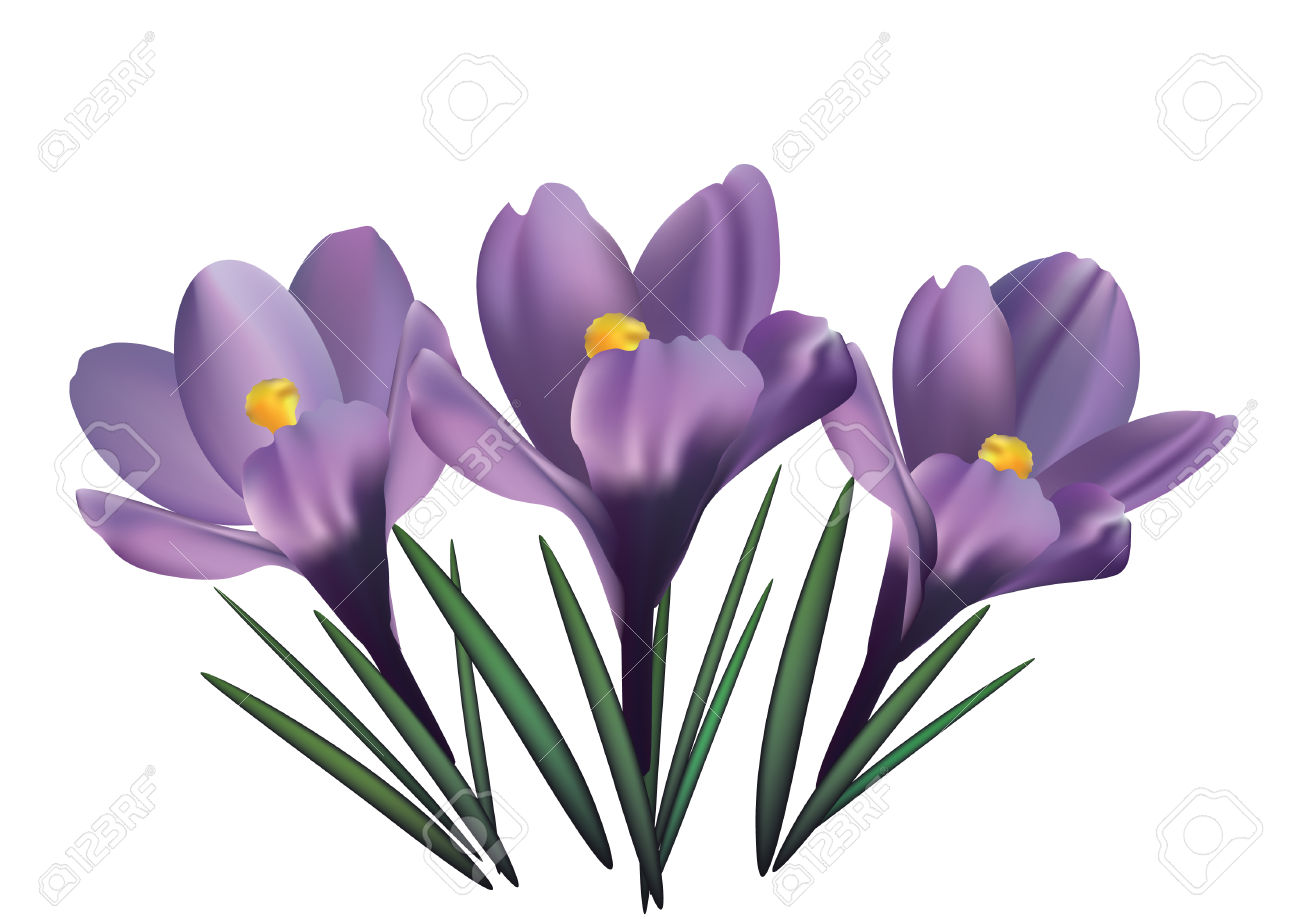 Crocus Flowers Royalty Free Cliparts, Vectors, And Stock.