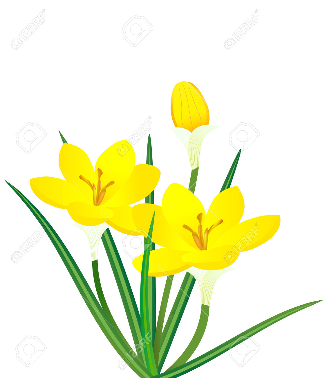 Vector Illustration Of Yellow Crocus Flower Plant Royalty Free.