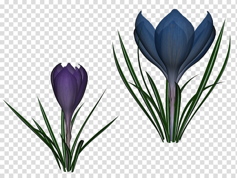 Two Crocus, two blue.