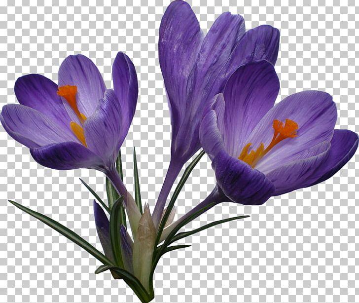 Crocus Flower PNG, Clipart, Clip Art, Computer Icons, Crocus, Flower.