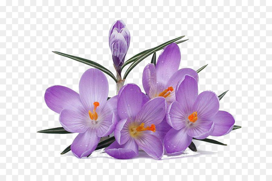 Saffron Flower png download.