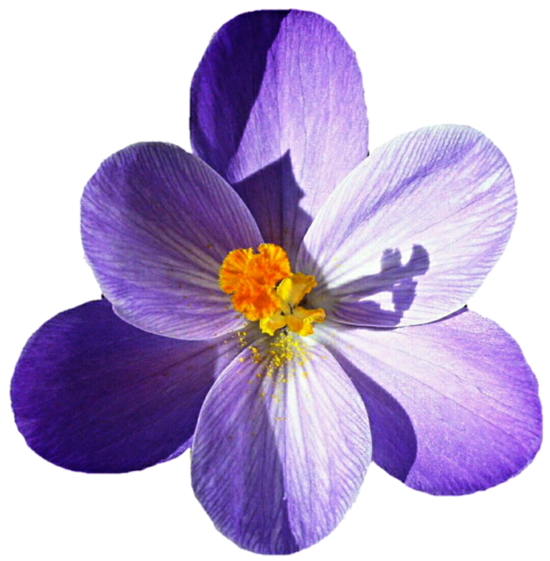 Download Free png Crocus PNG Picture.