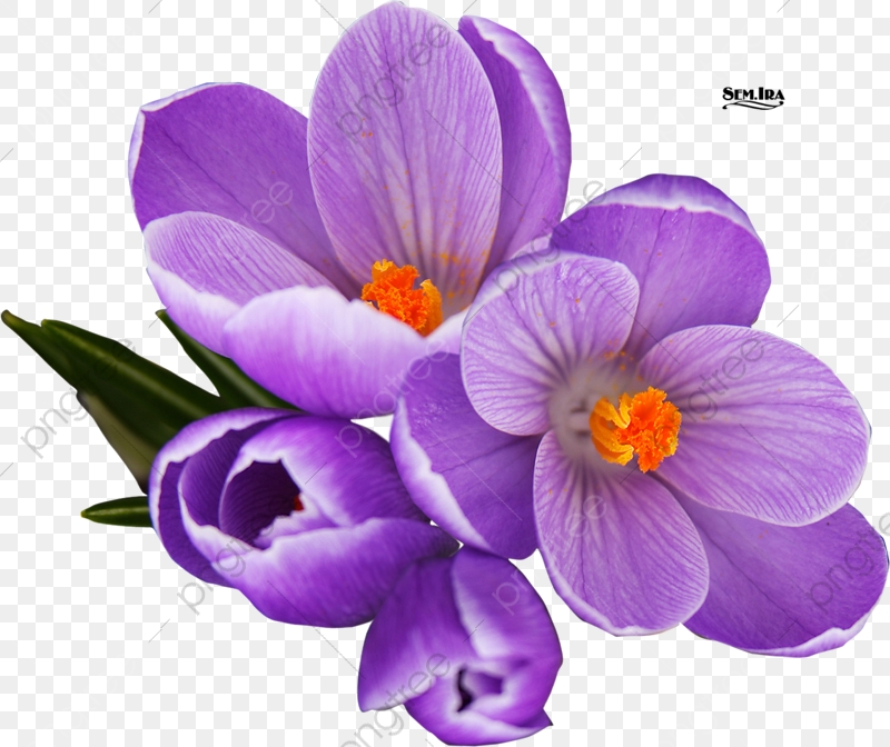 Saffron, Purple, Saffron Crocus PNG Transparent Image and Clipart.