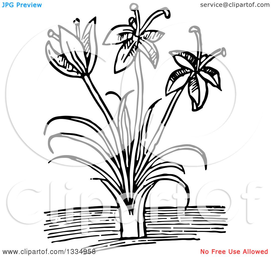 Clipart of a Black and White Woodcut Herbal Saffron Crocus Plant.