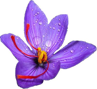 Saffron flower clipart.