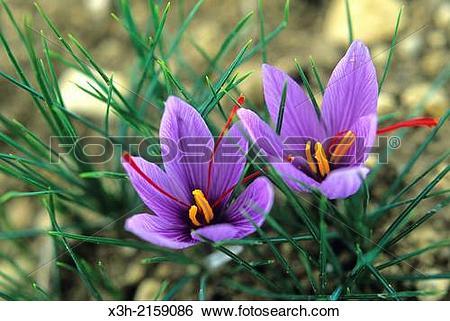 Stock Images of saffron flowers crocus sativus, Loiret department.