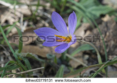 "Stock Photography of ""Saffron flower (Crocus sativus), Madonie."