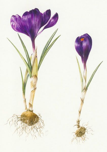 Crocus. Welcome to my page about amaryllis, hyacinths and other.