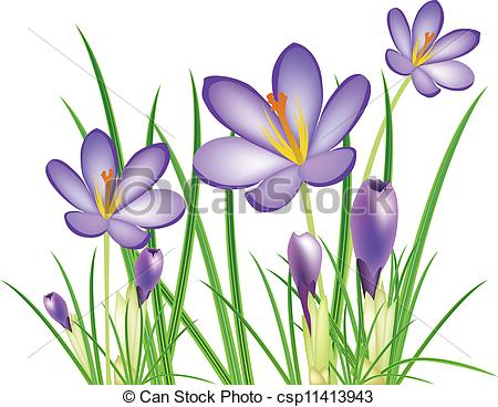 EPS Vector of spring crocus flowers, vector illustration.