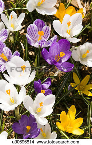 Stock Photo of white Crocus Giant mixed assorted colours crocus.
