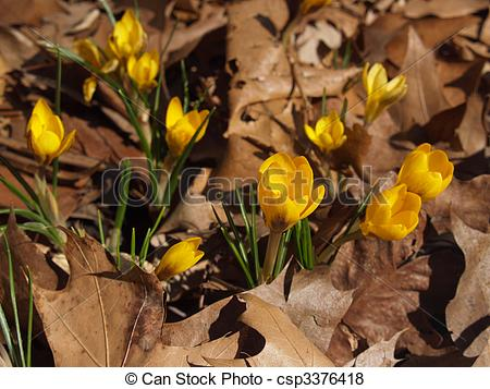 Pictures of Yellow Crocus vernus in Dried Leaves.