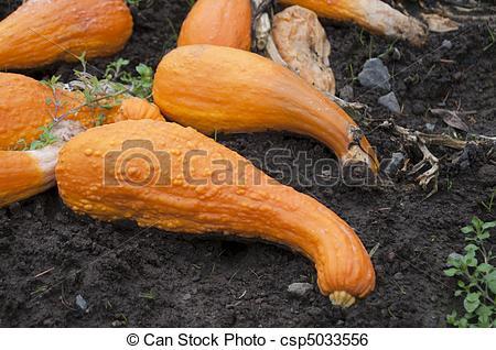 Stock Image of Orange Crookneck Squash.