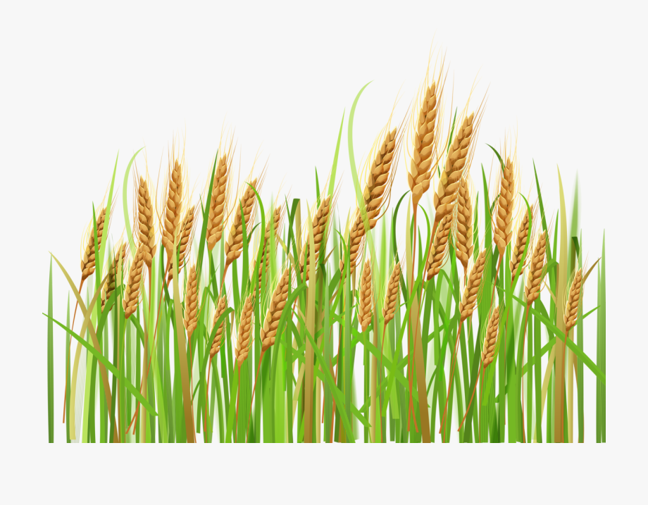 Rice Clipart Rice Crop.