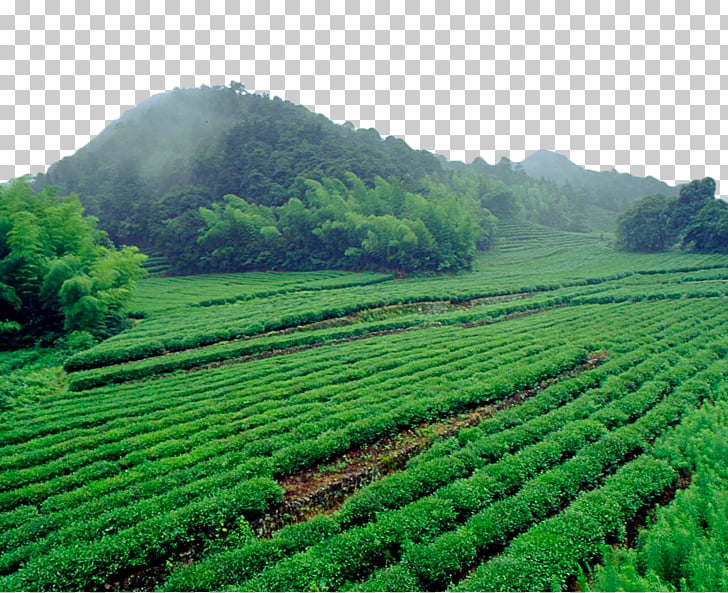 Green tea Computer file, Green tea field PNG clipart.