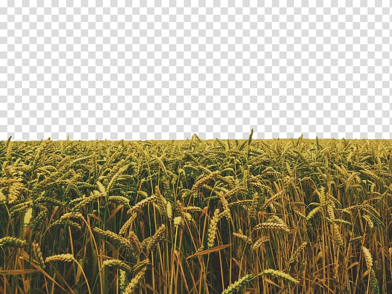 Crop Field, Golden wheat transparent background PNG clipart.