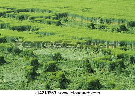 Stock Photo of Cornfield Crop Failure k14218663.