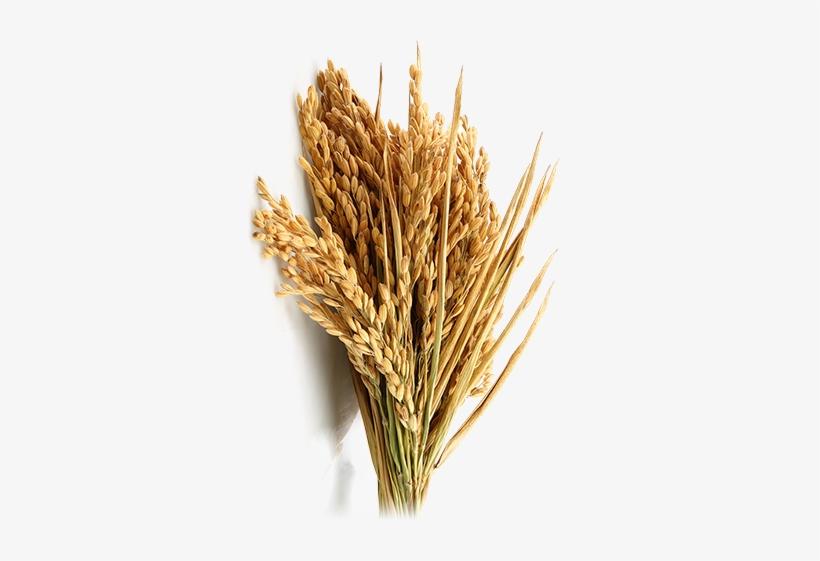 Rice Crop Farming.