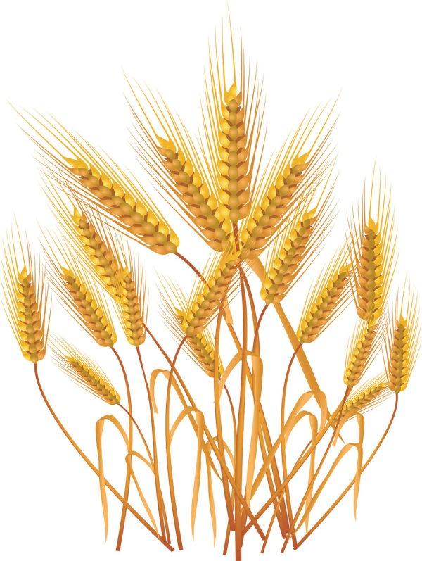 Yellow wheat crop.