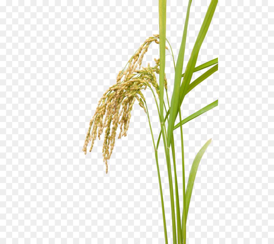 Grass Flower png download.