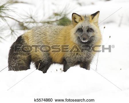 Stock Photography of Cross Fox k5574860.