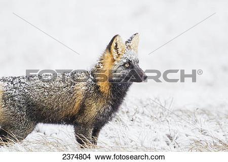 Stock Photo of Cross fox hunts on the snowy tundra of the arctic.