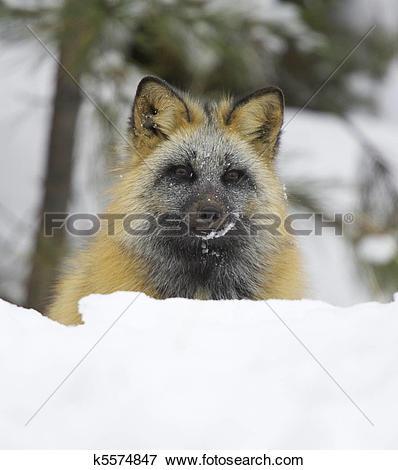 Picture of Cross Fox k5574847.
