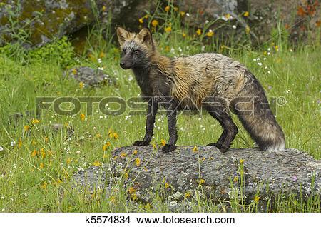 Stock Photo of Cross Fox k5574834.