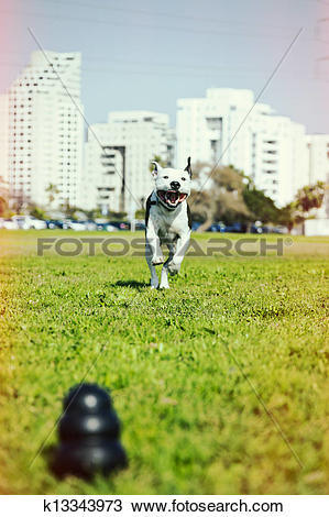 Stock Photo of Pitbull Running to Dog Toy on Park Grass Cross.