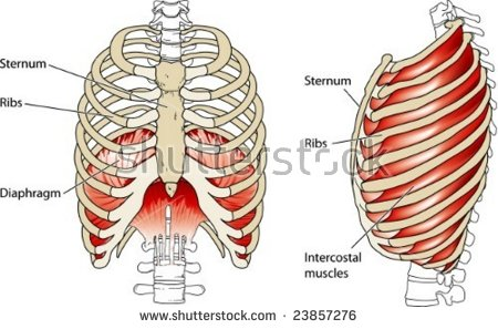 Vector Thyroid Gland Anatomical Structure Arteries Stock Vector.