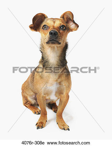 Stock Photography of Chiweenie dog (A crossbreed of Chihuahua and.