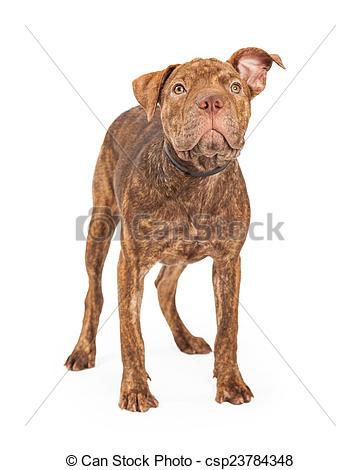 Stock Photo of Shar Pei and Pit Bull Cross Breed Dog Standing.
