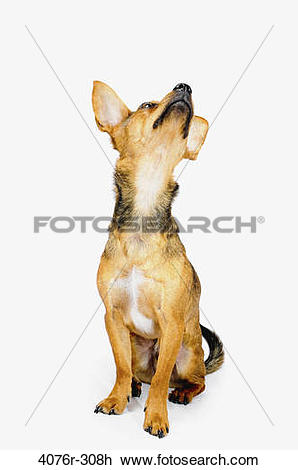 Stock Photo of Chiweenie dog (A crossbreed of Chihuahua and.