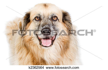 Stock Photo of Shot of a Happy Large Crossbreed Dog against White.