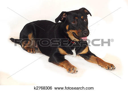 Stock Images of Cute expressive Rottweiler Crossbreed dog.