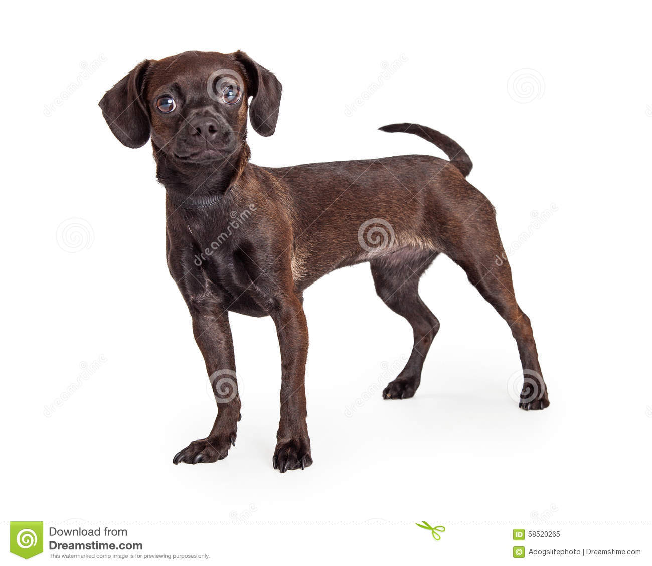 Black Chihuahua Crossbreed Standing To Side Stock Photo.