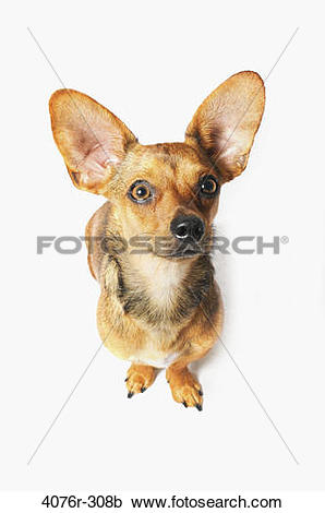 Stock Photography of High angle view of a Chiweenie dog (A.