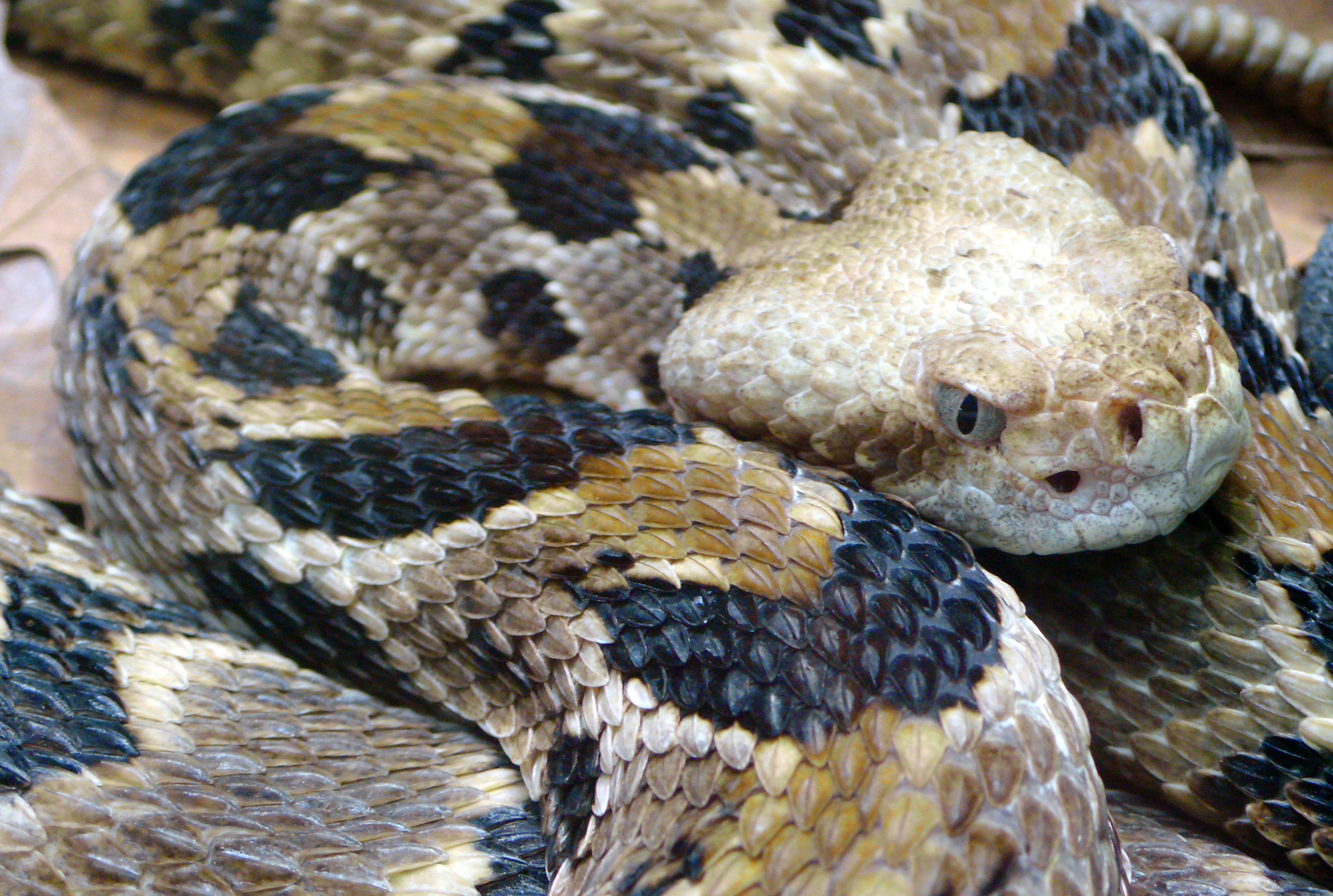 Timber Rattlesnake.