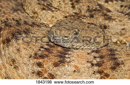 Pictures of Speckled rattlesnake (Crotalus mitchellii) 1843198.