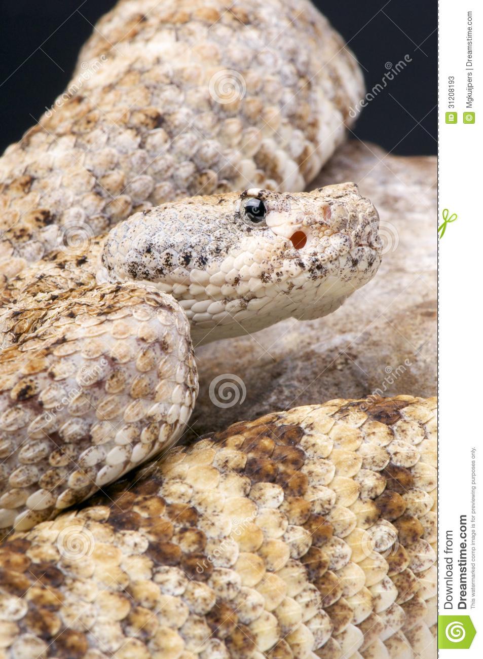 Rock Rattlesnake / Crotalus Mitchellii Pyrrhus Stock Photos.