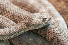 Mitchells Rattlesnake Scales (crotalus Mitchellii) Stock Photo.