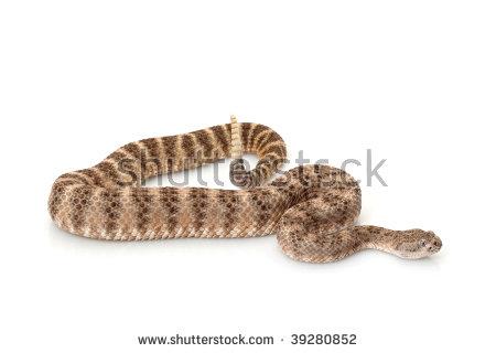 "southwestern_speckled_rattlesnake"" Stock Photos, Royalty."